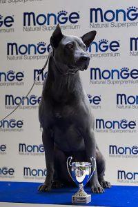 Thai Ridgeback Dog Italia, maschio blu, Chaber Xena Sawa
