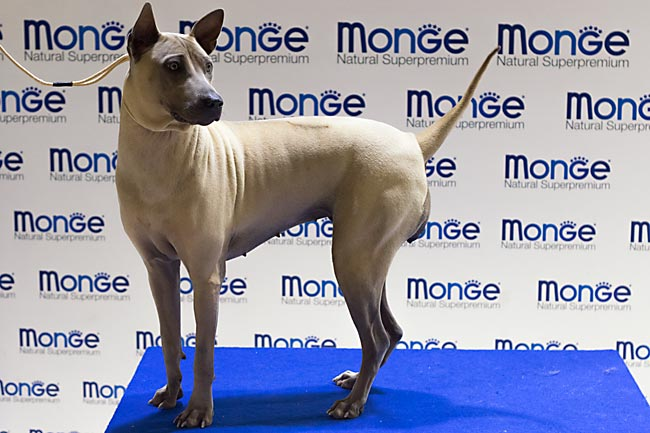 Thai Ridgeback Dog femmina isabella