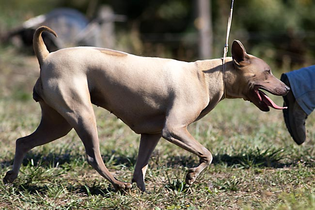 Thai Ridgeback Dog Italia, femmina mantello isabella