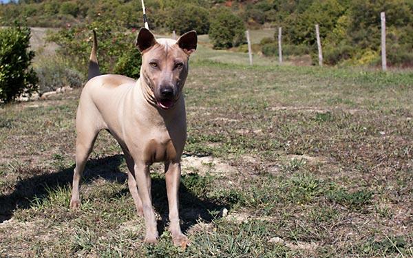 Thai ridgeback dog italia, femmina mantello isabella. Aqua Bella Siam's Pearl