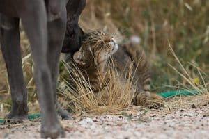 Thai Ridgeback dog Italia con gatto