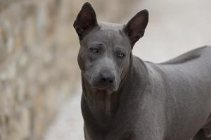 Thai Ridgeback Dog, maschio blu