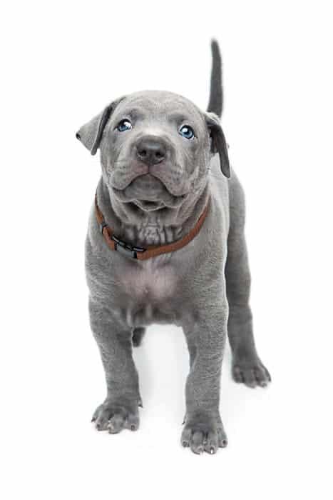 Thai Ridgeback dog italia cucciolo blu