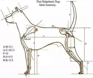 Thai ridgeback dog proporzioni