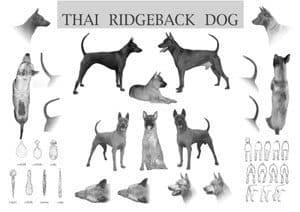 Caratteristiche del Thai Ridgeback Dog