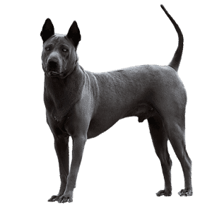 Thai Ridgeback Dog blu