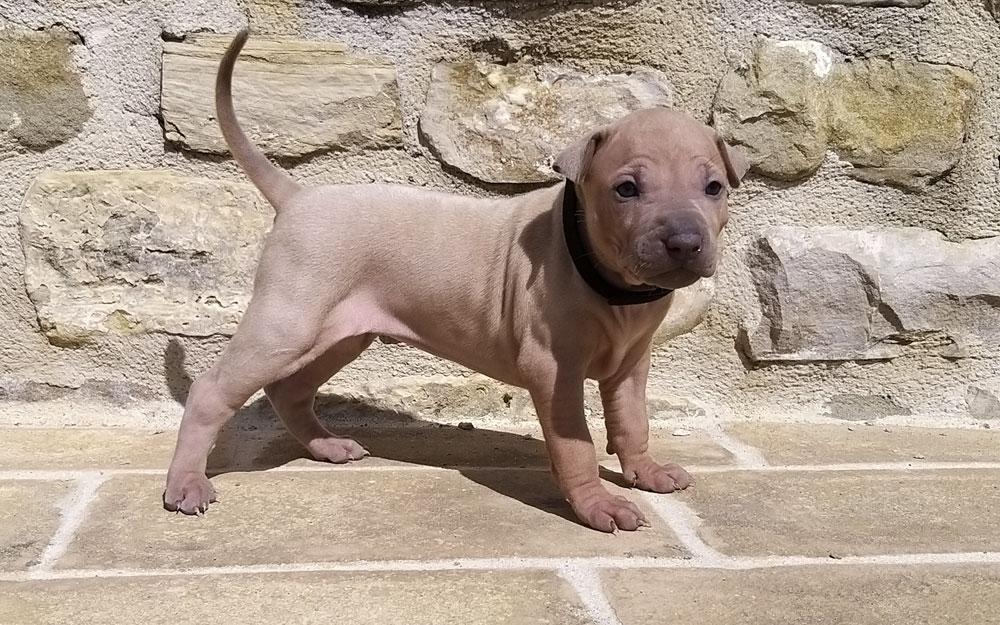 Cucciolo thairidgeback dog femmina