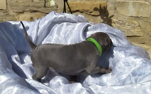 Cucciolo maschio thairidgeback dog