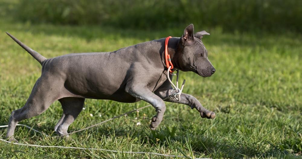 Cucciolo di thai ridgeback dog