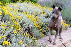 Femmina di razza thai ridgeback dog
