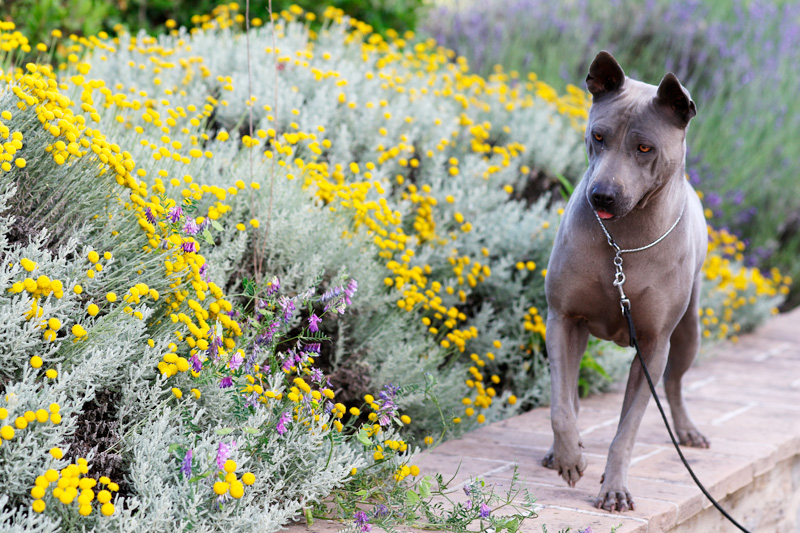 Femmina di razza thai ridgeback dog