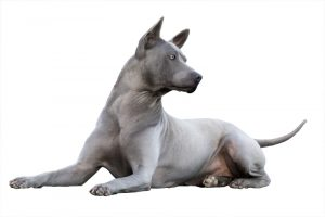 Amyra, femmina di thai ridgeback dog