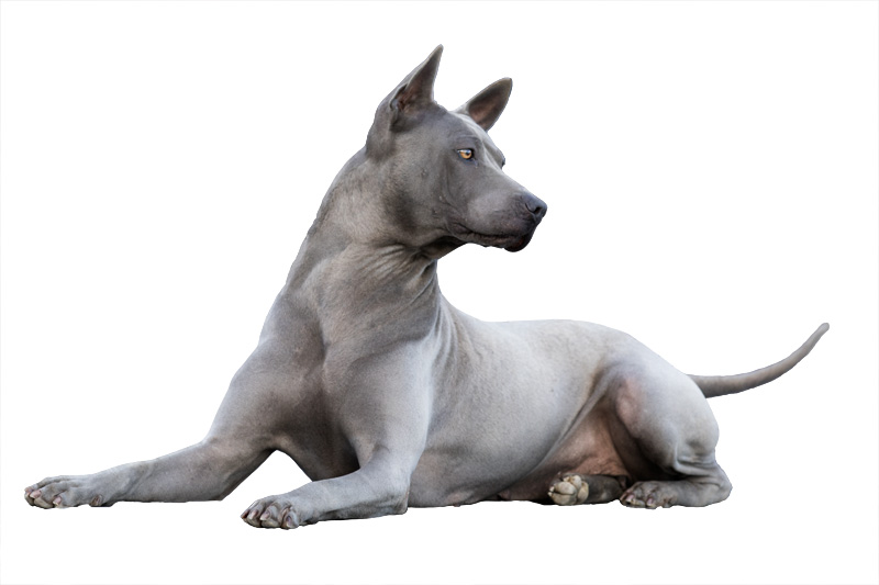 Amyra, femmina di thai ridgeback dog