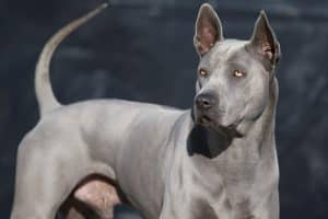 cane maschio di razza thai ridgeback dog