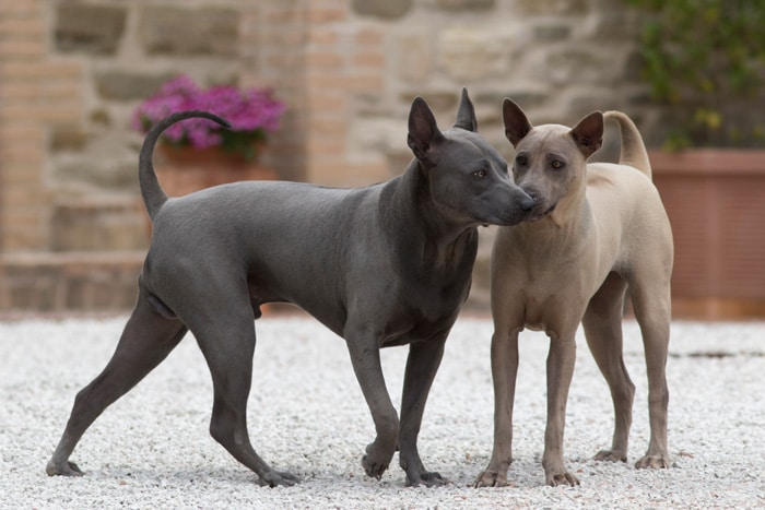 Coppia di thai ridgeback dog