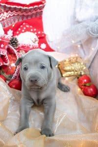 Cucciolo blu di thai ridgeback nato nel 2020