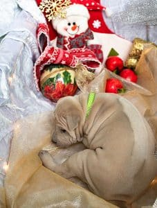 Cucciolo isabella di thai ridgeback nato nel 2020